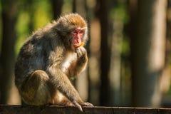 Ιαπωνικός πίθηκος Makak Στοκ Εικόνα