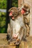 Ιαπωνικός πίθηκος Makak Στοκ Φωτογραφίες