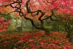 ιαπωνικός σφένδαμνος Στοκ Εικόνες