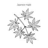 Ιαπωνικός-σφένδαμνος, διανυσματική απεικόνιση διανυσματική απεικόνιση