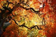 Ιαπωνικός σφένδαμνος, κήπος Bodnant, Ουαλία στοκ εικόνες