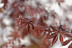Ιαπωνικός σφένδαμνος το χειμώνα Στοκ Φωτογραφίες