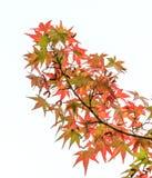 Ιαπωνικός σφένδαμνος στοκ φωτογραφίες με δικαίωμα ελεύθερης χρήσης