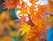 Ιαπωνικός σφένδαμνος Genevey Στοκ εικόνα με δικαίωμα ελεύθερης χρήσης