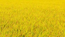 Ιαπωνικός τομέας ρυζιού το φθινόπωρο Στοκ φωτογραφίες με δικαίωμα ελεύθερης χρήσης