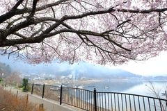 Ιαπωνικό άνθος δέντρων κερασιών στοκ φωτογραφίες με δικαίωμα ελεύθερης χρήσης
