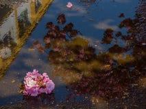 Ιαπωνικό άνθος κερασιών στη λακκούβα Στοκ φωτογραφίες με δικαίωμα ελεύθερης χρήσης