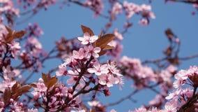 Ιαπωνικό άνθος κερασιών στο συμπαθητικό ηλιόλουστο καιρό φιλμ μικρού μήκους