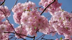 Ιαπωνικό άνθος κερασιών στο συμπαθητικό ηλιόλουστο καιρό απόθεμα βίντεο