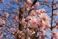Ιαπωνικό δέντρο ανθών κερασιών την άνοιξη στοκ εικόνα
