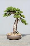Ιαπωνικό δέντρο μπονσάι Στοκ Εικόνα