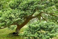 Ιαπωνικό δέντρο πεύκων thunbergii πεύκων στο πάρκο Στοκ εικόνες με δικαίωμα ελεύθερης χρήσης