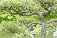 Ιαπωνικό δέντρο πεύκων thunbergii πεύκων Στοκ φωτογραφίες με δικαίωμα ελεύθερης χρήσης