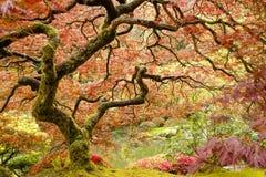 ιαπωνικό δέντρο σφενδάμνου Στοκ εικόνα με δικαίωμα ελεύθερης χρήσης