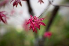 ιαπωνικό δέντρο σφενδάμνου Στοκ Φωτογραφίες