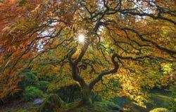 ιαπωνικό δέντρο σφενδάμνου Στοκ εικόνες με δικαίωμα ελεύθερης χρήσης