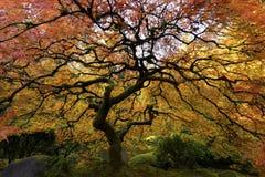 ιαπωνικό δέντρο σφενδάμνου Στοκ Φωτογραφία