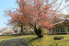 Ιαπωνικό ανθίζοντας κεράσι - Sakura το πρωί ηλιοφάνειας Στοκ Φωτογραφίες
