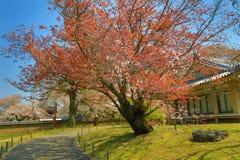 Ιαπωνικό ανθίζοντας κεράσι - Sakura το πρωί ηλιοφάνειας Στοκ φωτογραφία με δικαίωμα ελεύθερης χρήσης