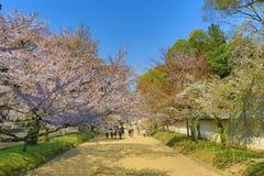 Ιαπωνικό ανθίζοντας κεράσι - Sakura το πρωί ηλιοφάνειας Στοκ Εικόνα