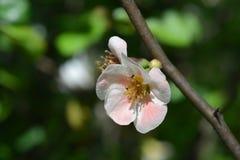 Ιαπωνικό ανθίζοντας κυδώνι στοκ φωτογραφίες