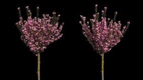 Ιαπωνικό απομονωμένο κεράσι δέντρο φιλμ μικρού μήκους