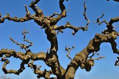 Ιαπωνικό δέντρο - κορώνα το χειμώνα Στοκ εικόνες με δικαίωμα ελεύθερης χρήσης