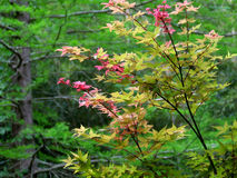 ιαπωνικό δέντρο σφενδάμνο&upsi Στοκ εικόνα με δικαίωμα ελεύθερης χρήσης
