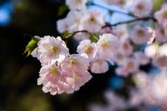 Ιαπωνικό κεράσι Στοκ εικόνα με δικαίωμα ελεύθερης χρήσης
