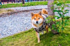 Ιαπωνικό κουτάβι inu Shiba Στοκ εικόνα με δικαίωμα ελεύθερης χρήσης
