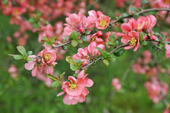 ιαπωνικό κυδώνι κλάδων Στοκ φωτογραφία με δικαίωμα ελεύθερης χρήσης