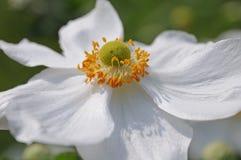 ιαπωνικό λευκό anemone Στοκ Εικόνες
