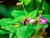 Ιαπωνικό να ταΐσει μελισσών ξυλουργών με τα λουλούδια 2 στοκ φωτογραφία με δικαίωμα ελεύθερης χρήσης