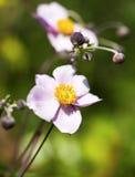 Ιαπωνικό λουλούδι anemone Στοκ εικόνες με δικαίωμα ελεύθερης χρήσης