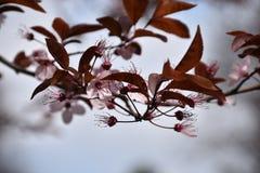 Ιαπωνικό λουλούδι chery Στοκ φωτογραφία με δικαίωμα ελεύθερης χρήσης