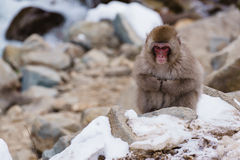 Ιαπωνικό λούσιμο macaque τις καυτές ανοίξεις, Στοκ Εικόνα