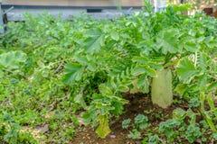 Ιαπωνικό ραδίκι στο φυτικό κήπο Στοκ εικόνες με δικαίωμα ελεύθερης χρήσης