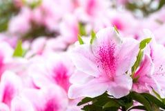 ιαπωνικό ροζ αζαλεών Στοκ φωτογραφία με δικαίωμα ελεύθερης χρήσης