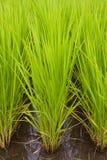 ιαπωνικό ρύζι πεδίων Στοκ Εικόνα