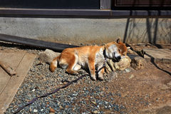Ιαπωνικό σκυλί inu Shiba στοκ εικόνα με δικαίωμα ελεύθερης χρήσης