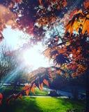 Ιαπωνικό σφενδάμνου Στοκ Εικόνες