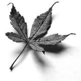 Ιαπωνικό φύλλο σφενδάμου Στοκ φωτογραφία με δικαίωμα ελεύθερης χρήσης