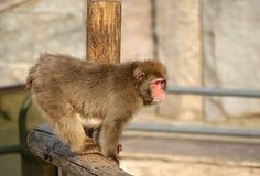 ιαπωνικό χιόνι πιθήκων macaque Στοκ εικόνα με δικαίωμα ελεύθερης χρήσης