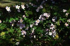 Ιαπωνικό anemone Στοκ Φωτογραφίες