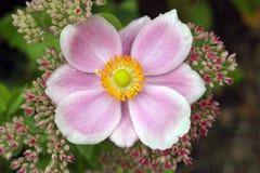 Ιαπωνικό anemone Στοκ Εικόνα