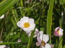 Ιαπωνικό Anemone, hupehensis Anemone, λουλούδια η κινηματογράφηση σε πρώτο πλάνο, εκλεκτική εστίαση, ρηχό DOF Στοκ Εικόνες