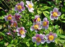 Ιαπωνικό anemone (hupehensis Anemone) Στοκ φωτογραφίες με δικαίωμα ελεύθερης χρήσης