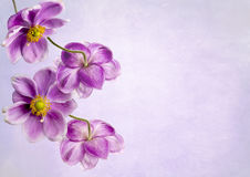 Ιαπωνικό Anemones Στοκ Φωτογραφίες
