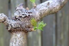 Ιαπωνικό Angelica-δέντρο Στοκ εικόνες με δικαίωμα ελεύθερης χρήσης