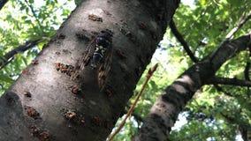 Ιαπωνικό cicada απόθεμα βίντεο